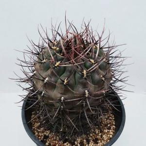 Gymnocalycium gibbosum (九紋竜)