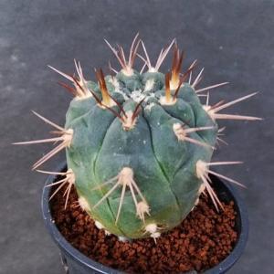 Gymnocalycium ritterianum ssp. acentracanthum ( アセントラカンサム )