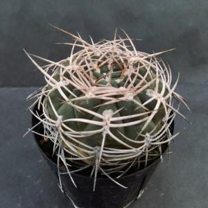 Gymnocalycium hossei v. nidulans ( 猛鷲玉 )