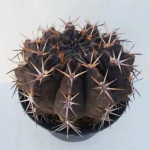 Gymnocalycium megatae ( メガタエ )