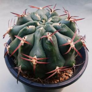 Gymnocalycium scickendantzii ( 波光竜 )