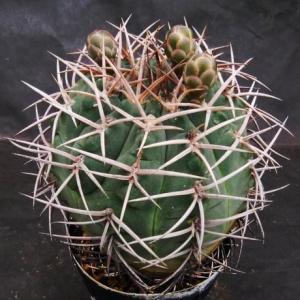 Gymnocalycium catamarcense ssp. schmidianum ( シュミディアナム )