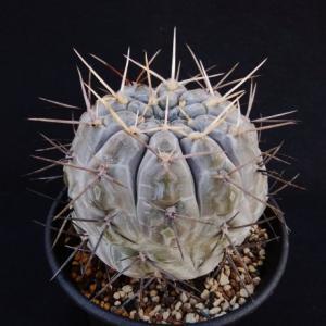 Gymnocalicium borthii ssp. nogolense ( ボルシー (亜種) ノゴレンセ)