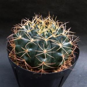 Gymnocalycium anisitsii ssp.( 翆晃冠(亜種)ホルデイー )