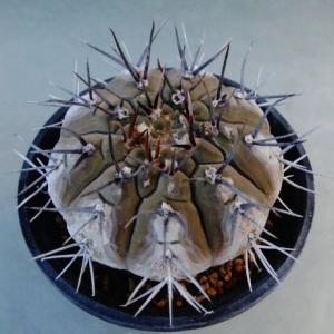 Gymnocalycium spec. Telaritos ( sp. テラリトス )