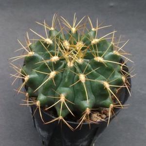 Gymnocalycium matoense ( マトエンセ )