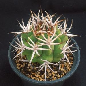Gymnocalycium mostii ssp. ferocius  ( フェロシオール )