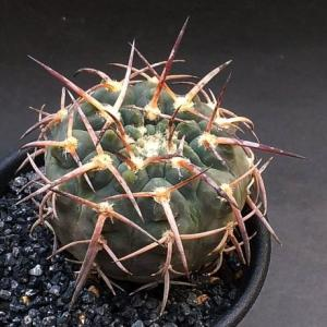 Gymnocalycium paucispinum ( パウキスピナム )