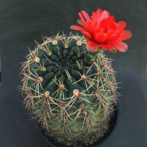 Gymnocalycium baldianumi ( 緋花玉 )