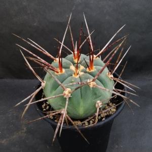Gymnocalycium armatum ( アルマツム )