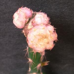 Gymnocalycium ragonesei f. roseiflorum ( ラゴネシー(品種) ロセイフローラム )