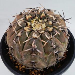 Gymnocalycium basiatrum ( 怪竜丸 )
