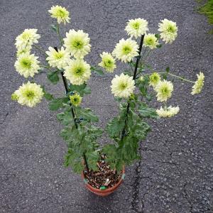 緑系スプレー菊実生の様子