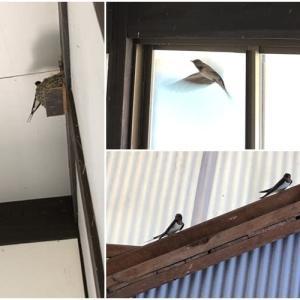燕の再訪、巣立ち