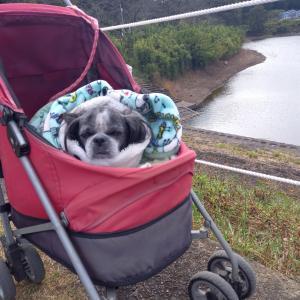 朝起きたら最初に何する?愛犬パロンのお散歩です。