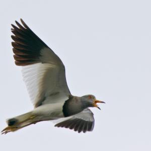 威嚇するケリの飛翔
