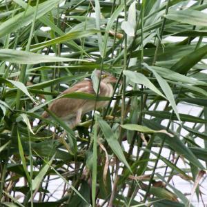 沼のヨシゴイ