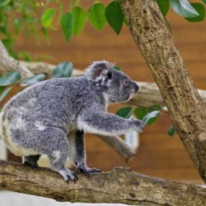 動き回ったコアラ