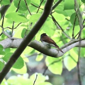 枝の隙間からサンコウチョウ