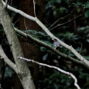 里山のクロツグミ