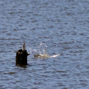 浮上するコアジサシ