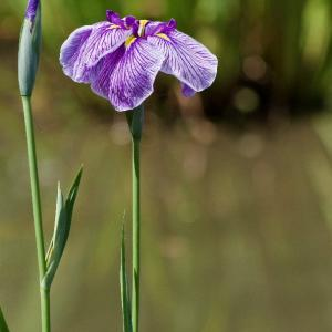 公園の花菖蒲と紫陽花