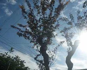 庭の木々を素人庭師で剪定