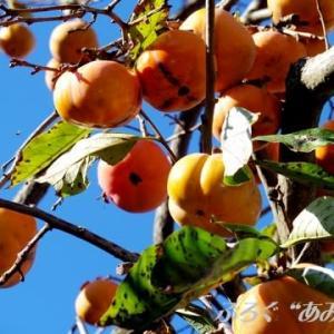 ★柿のプリン