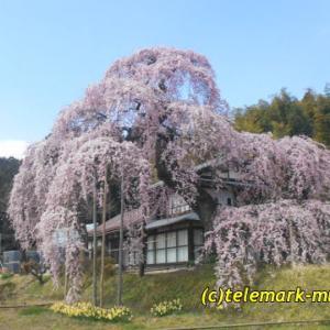 横田陣屋の御殿桜、満開で~す@須賀川市