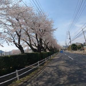 山中湖まで巡回、桜も見頃か?