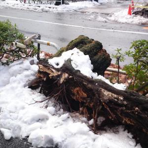 雪でサクラの木が…