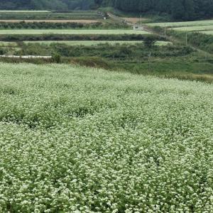 笠の蕎麦畑❤