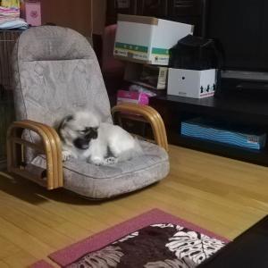 ペキニーズの福ちゃんが体調不良