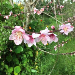 我が家は主婦がタッチダウン/ All Blacks, Peach Blossoms and Stone Pig