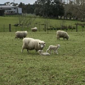 羊の赤ちゃん、順調に育っています/ Lambs Are Doing Well