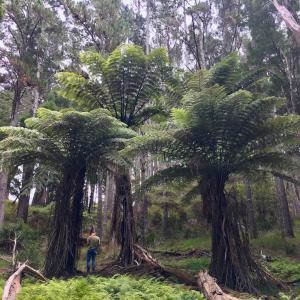 ファームの巨大シダ/ Our Giant Ferns