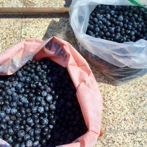 ブルーベリーがいっぱい!/ Blueberry Hunting '21