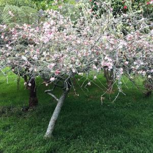 リンゴの花が咲き始めました/ Apple Flowers Are Blossoming