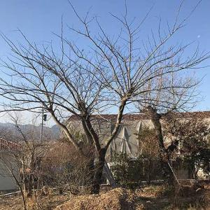 庭木の枝打ち