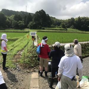 ボランティアは田んぼの草取り