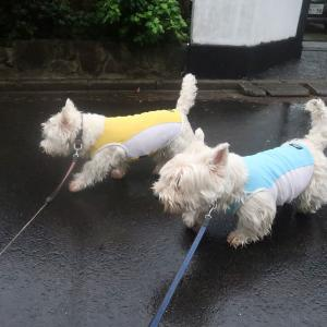 連日の雨散歩だけど楽しそうだからいいか