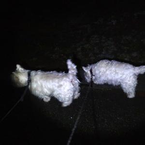 暗いときには白犬は全裸の方が視認性がよい