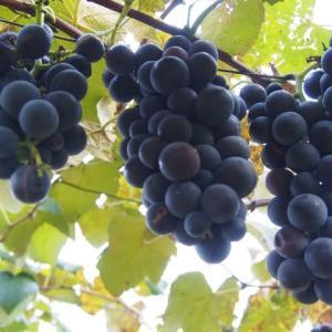 一房の葡萄