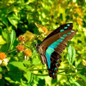 めっちゃ綺麗な蝶々撮れた(`・ω・´)