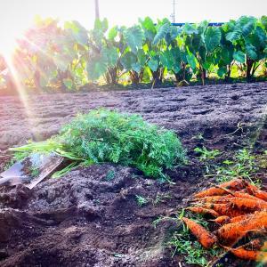 野菜を掘り起こした!