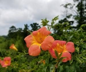 凌霄(のうぜん)の花
