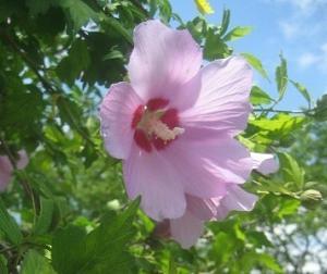 花木槿(はなむくげ)