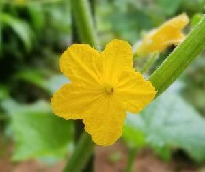 胡瓜(きゅうり)の花