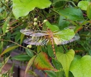 蜻蛉(とんぼ)生る