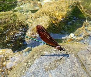川蜻蛉(かわとんぼ)